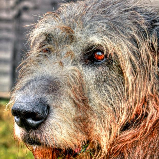 FAREWELL: Seamus the wolfhound starred in films including The Other Boleyn Girl, Children of Men and Burke and Hare.
