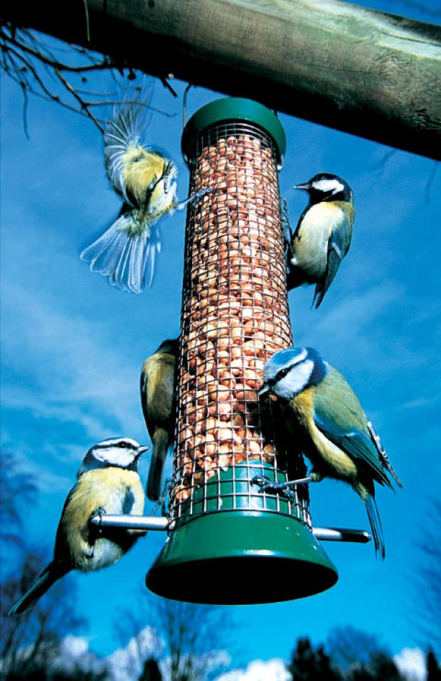 FEEDING: Blue Tits came second in last year's poll.
