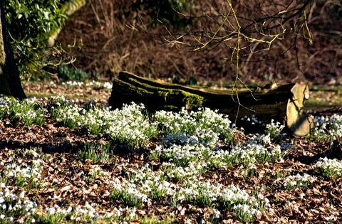 Snowdrops almost in bloom