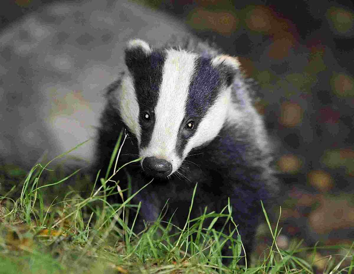 Badger cull protestors went to County Hall yesterday