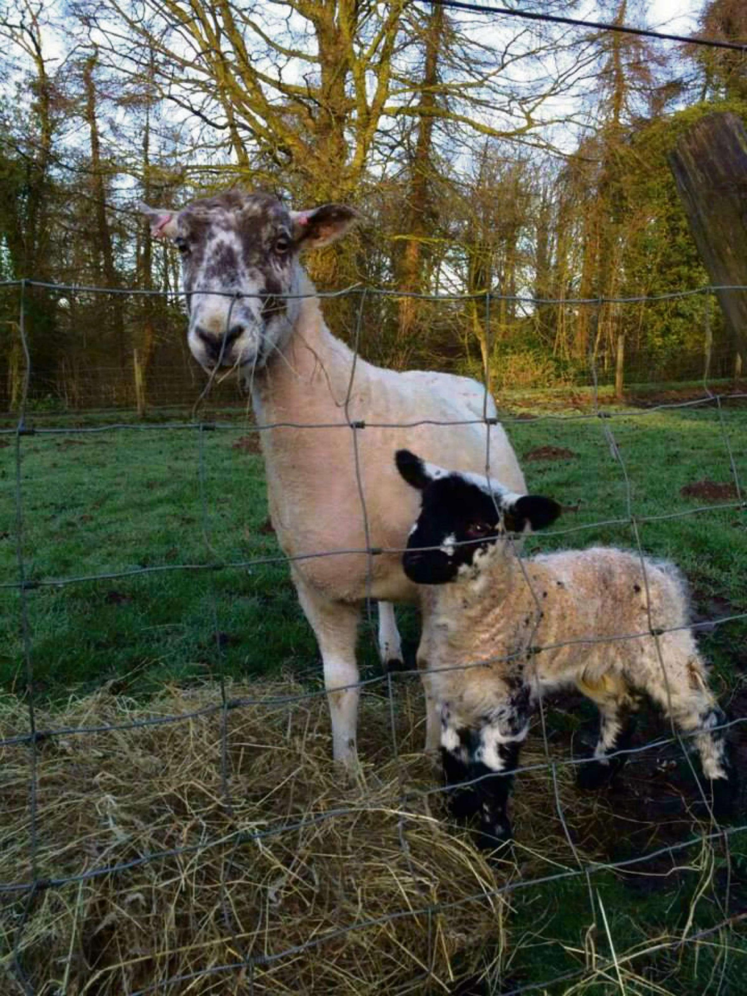 The first lamb to be born at Overbury Farms arrived on February 21 - four weeks early.