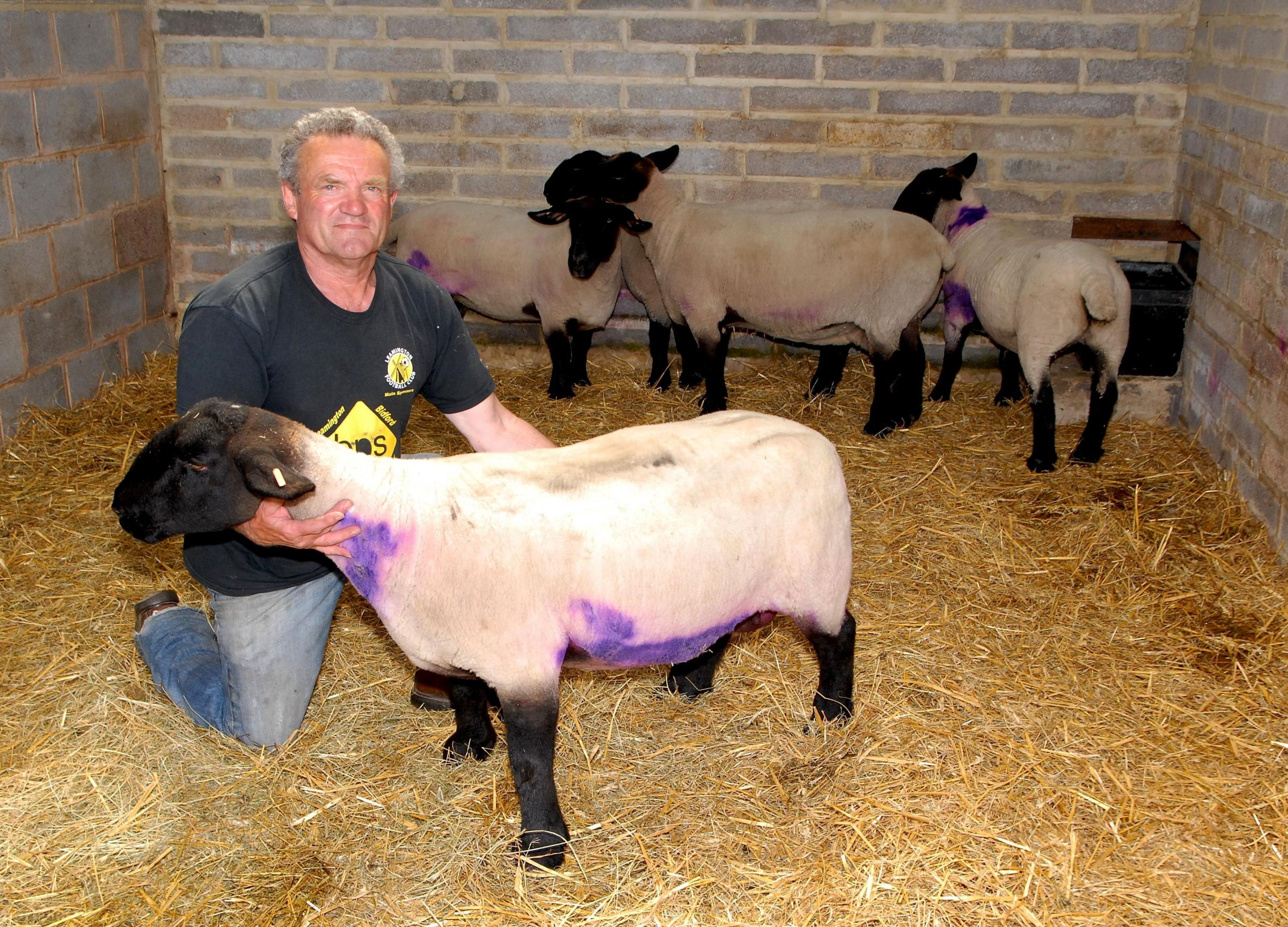 LUCKY ESCAPE: Peter Smith had five of his sheep mauled by two dogs, including a prize winning Suffolk. 2414620301