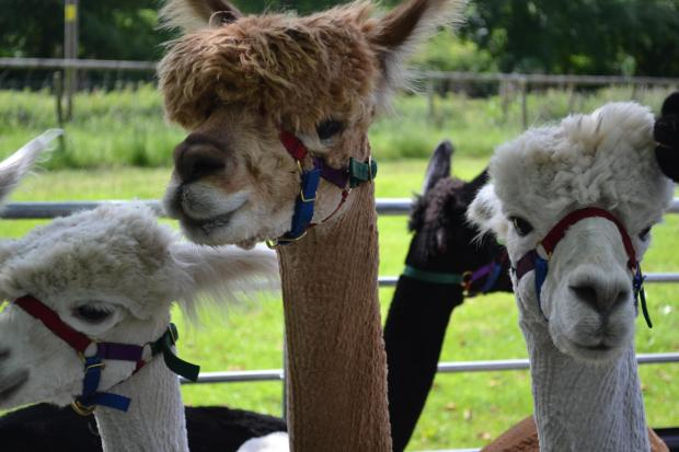 ATTRACTION: The alpacas which can be taken on a trek around the castle's ground
