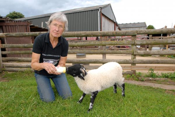 FIGHT: Janet Taylor with Sherbert a Swaledale sheep at The Farm Animal Sanctuary. The sanctuary is threatened with closure.