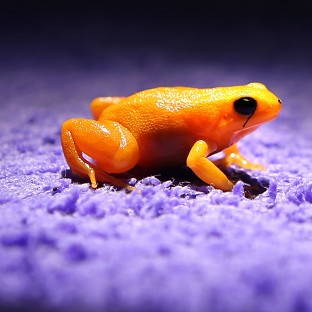 Zoos help frog with no croak