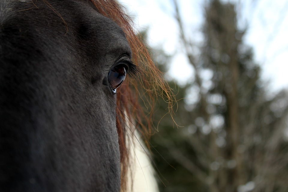 An image of a horse. Picture: PIXABAY